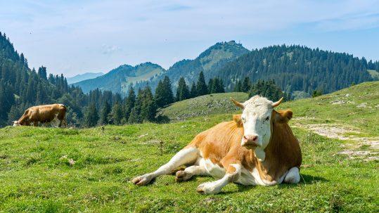 Landgasthof Karner Chiemgauer Alpen Kuh